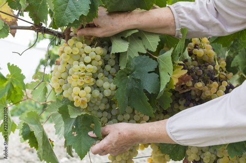 Fotografie, Obraz Persona cosecha uvas en la viña