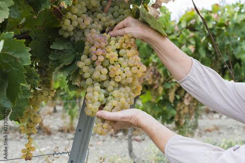 Fotografia Persona cosecha uvas en la viña