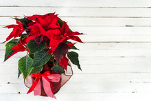 Red Poinsettia. Christmas Traditional Flower On White Wooden Table.