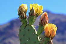 Yellow Prickly Pear Flowers In...