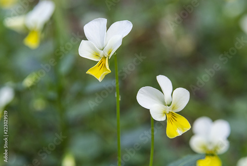 Beautiful wild pansies on blurred green background