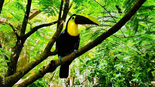 Fotografia  Exotic bird keel-billed toucan sit on a branch in a park