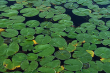 Lily Pads Floating