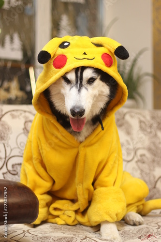 фотография Husky in Pikachu costume
