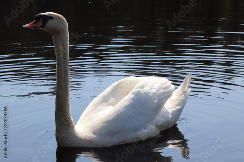 Swan living in Lithuania, summer 2018