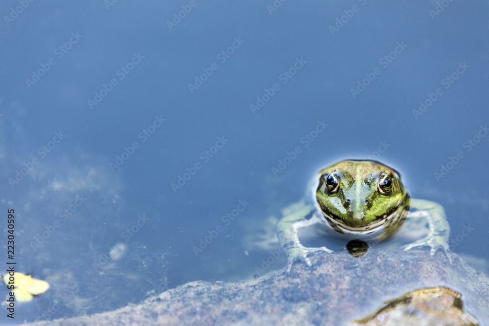 Fototapeta Lithobates clamitans, green frog partially submerged in water