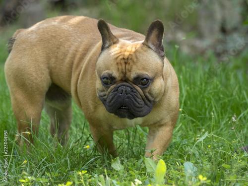 Foto op Plexiglas Franse bulldog Bouledogue français de couleur fauve. Un petit molosse très amical et joueur