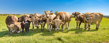A Herd Of Cows On A Pasture In...