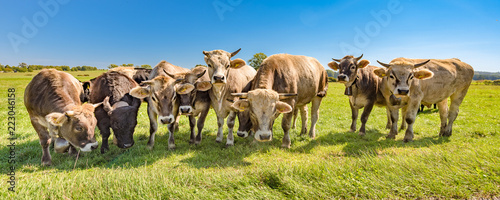 A herd of cows on a pasture in summer in Bavaria - Braunvieh
