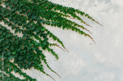 The White Wall with The Ivy for Nature Background.