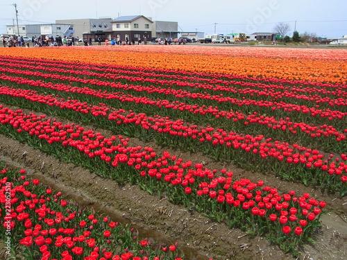 tulip in Japan
