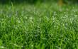 rosa na trawie