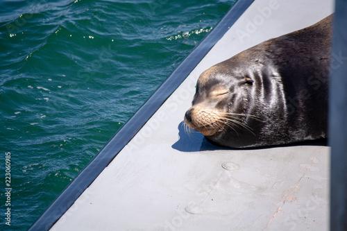 Photo  A seal takes a nap in Santa Cruz