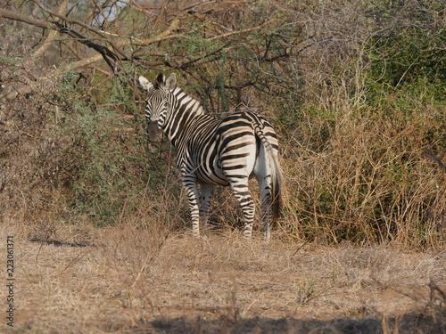Photo  Zebra