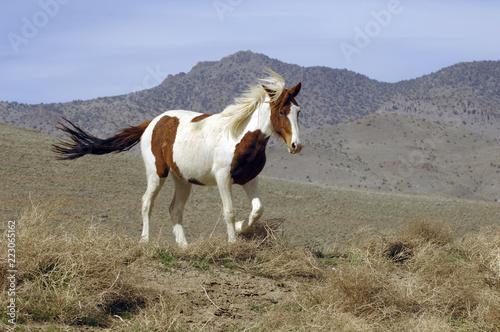Photo Wild Mustang Pinto Running in Nevada