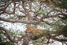 Lion Sleeps In Tree