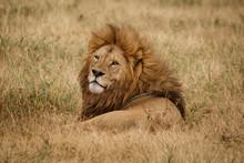 Lion On Safari Tanzania