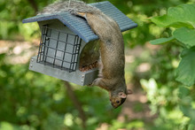 Squirrel Hanging Upside Down O...