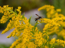 Bee Collecting Pollen On A Stalk Of Golden Rod 2