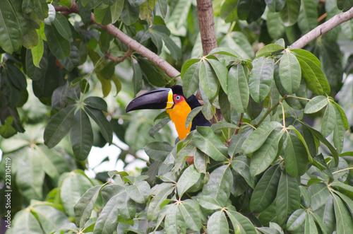 Fotografering  Tucano-de-bico-preto