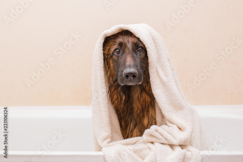 A nice German shepherd dog takes a bath with soap Canvas Print
