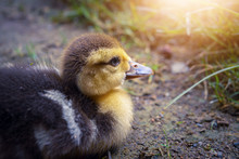 Closeup Cute Duckling