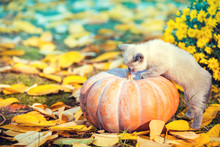 A Small Kitten Climbs A Large Pumpkin In The Garden On Autumn Yellow Leaves In Autumn