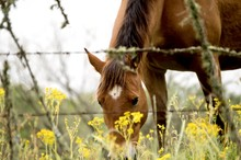 Brown Horse Grazing In A Field Of Yellow Wildflowers