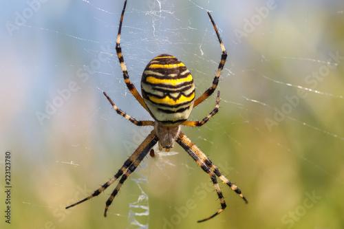 Araña tigre. Telaraña. Argiope bruennichi.