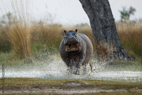 Photographie Aggressive hippo male attacking the car