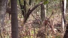 Deer Whitetail Buck Joins Wild...