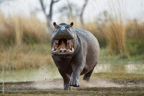 Photo  Aggressive hippo male attacking the car