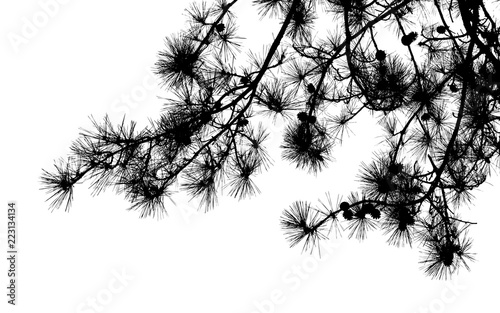 Pine tree branches silhouette isolated