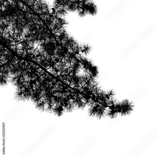 Pine tree branches isolated on white