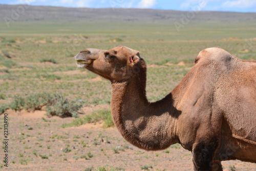 Tuinposter Kameel camel mongol