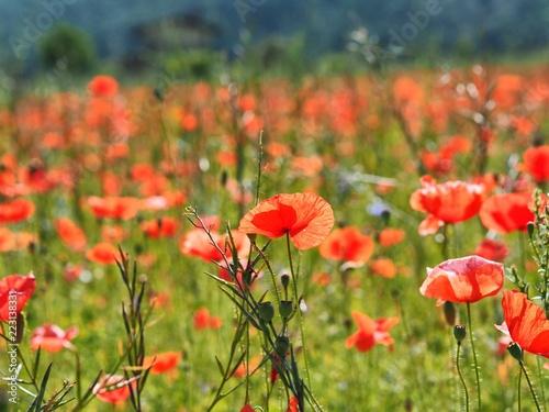 Flowering poppy field in Umbria region in Italy