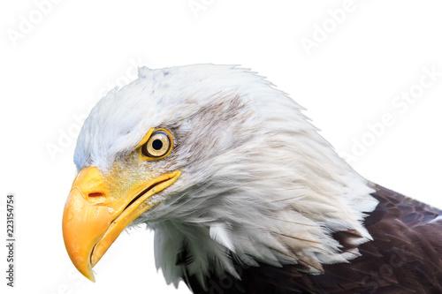 Beautiful close up portrait of an American bald Eagle (Haliaeetus leucocephalus) isolated on a white background