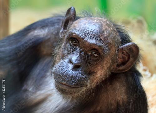 Wallpaper Mural Beautiful portrait of the common chimpanzee (Pan troglodytes), aka the robust ch