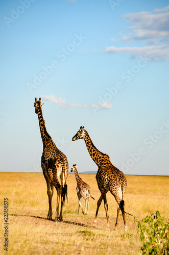 A perfect Giraffe family walks around in Masai Mara