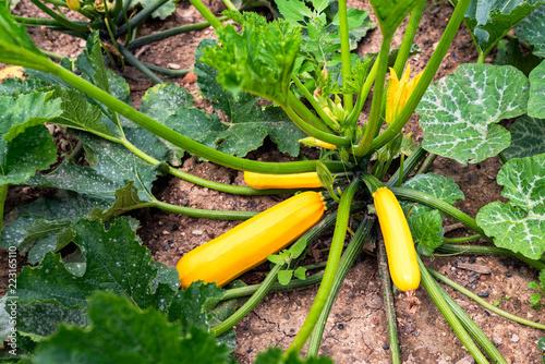 yellow zucchini in the vegetable garden