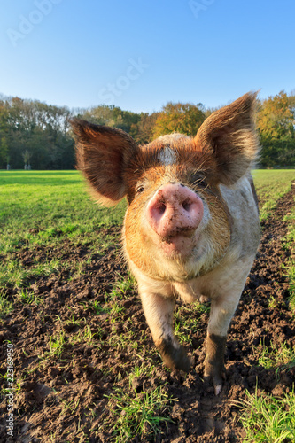 Beautiful close up portrait of a funny brown pig (sus scrofa) outdoors at a petting zoo in the Netherlands