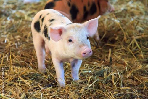 Fotografía  Very cute little newborn piggy pig (sus scrofa) in a petting zoo in the Netherla