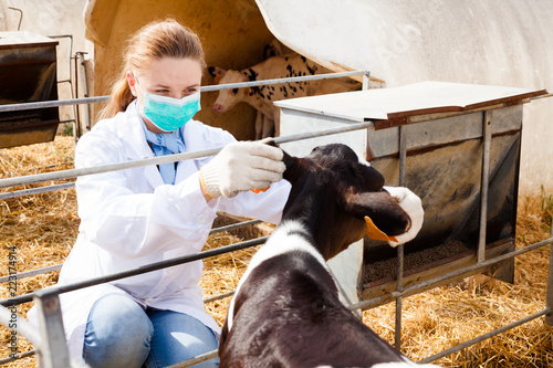 Photographie Veterinarian inspecting calves in dairy farm