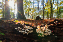 Beautiful Group Of Small Toadstools On A Fallen Tree Trunk In Autumn In The Forest In The Netherlands At Sunrise