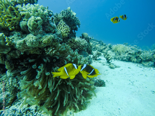 Fotografie, Obraz  Couple of Nemo Fish near their Anemone and Red Sea Coral Reef in Egypt