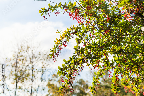 Foto  twigs of barberry bush with ripe fruits in evening