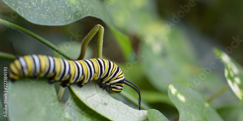 Fotografía  Monarch caterpillar on a leaf