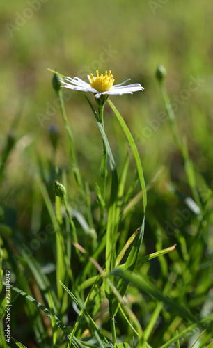 Vászonkép Tiny white and yellow daisy flower at eye level in green grass