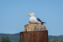 Seagull Sitting On Dock Pole
