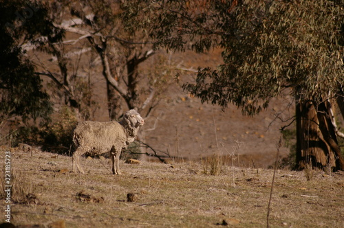 skinny, hungry, sad, drought stricken, diseased sheep looking for scarce food on a farm in rural New South Wales, Australia